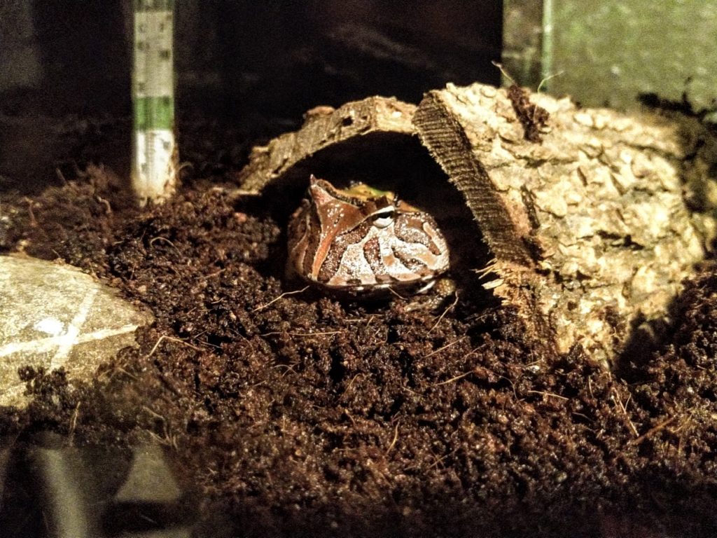 Bark Hideout for the Pacman frog